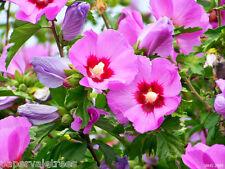 Hibiscus 'Woodbridge' / Rose of Sharon, Tree Hollyhock grown peat free 4ft large