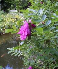 Rosa rugosa rubra ♫ Graines ♫ Jolie Plante Ornement ♫ ROSIER RUGUEUX /'Fuchsia/'