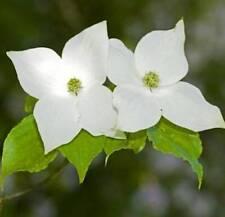 "Rose-florissante Jap Variété du fleurs cornouiller Cornus kousa /""Satomi/"""