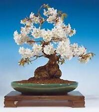 5 x CILIEGIO SELVATICO SEMI. semi albero che può essere utilizzato per bonsai.