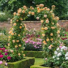 Yellow Climbing Rose Seeds Flower Garden Plant Seedlings, (Buy 1 Get 1 15% Off)