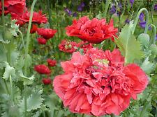 RED Wizard of OZ PEONY Somniferum Poppy 2000+ Seeds  *Shelley aka PoppyQueen👑