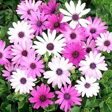 African Daisy Osteospermum Ecklonis Mix 20 Seeds    Garden Seeds 2u