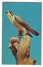 PEREGRINE  FALCON L. T. WARD WILDFOWL COUNTERFEITER DECOYS Maryland Postcard MD