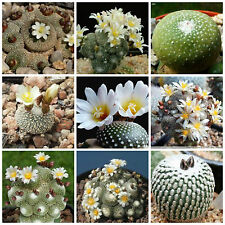 100 semillas mezcla Blossfeldia, cactus mix, plantas suculentas,seeds mix S