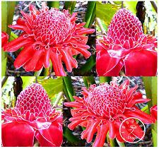 Torch Ginger Flower Seeds Plants Bonsai Etlingera Elatior Perfect Red House