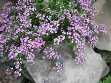 Soapwort- Rose- 200 Seeds - 50 % off sale