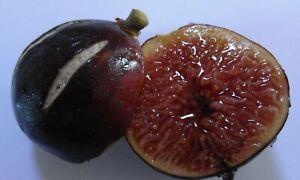 DIURI- Italian Variety (2 fresh cuttings)