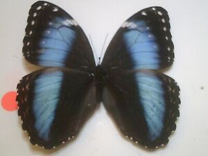 Real Insect/Butterfly/Moth Set Spread B7698 Rare FeMale Blue Patroculus orestes