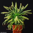 50+ Semi Drosera capensis 'alba' pianta carnivora