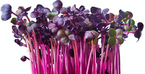 Radish Rambo Seeds Red- Microgreens Seeds Micro Radish Rambo Purple x 800 seeds
