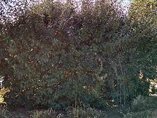5 Live Russian Olive Tree Plants Edible Fruit Windbreaks Elaeagnus angustifolia