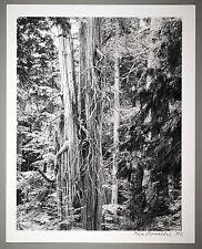 BONNIERE,16X20,SILVER GELATIN PHOTOGRAPH, S/N, SEYMOUR B.C. OLD CEDAR