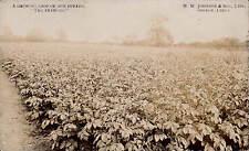 Boston. W.W.Johnson & Son's The Diamond Potato Crop. Card by E.W.Peakome.