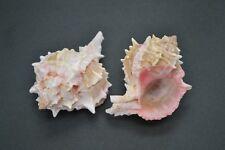 "2 PCS PINK MUREX HERMIT CRAB SEA SHELL BEACH DECOR 3"" - 4"" #7010"