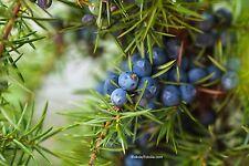 Gemeiner Wacholder Juniperus communis 90 Samen VERSAND FREI !!!