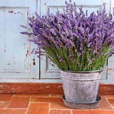 Lavender Seeds, Vera, Heirloom Perennial Herb Seeds, Rich In Essential Oils 50ct