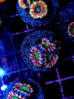 WYSIWYG Live Coral Frag - Mindbender Acan Lord