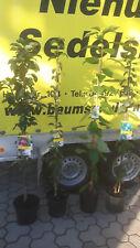 4 Säulenobstbäume Apfel Kirsche Birne Pflaume Obst Terrassenobst Zwergobst Säule