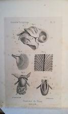 FISCHER P. MONOGRAPHIE DU GENRE HALIA RISSO (Priamus Beck). CONCHYLIOLOGIE 1859
