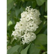 Angel White Lilac ~Pure White~ (5) Stems Branch/Cutting, Bush/Shrub/Tree/Plants