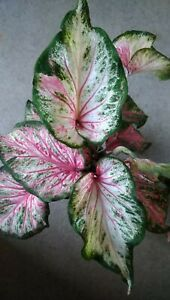 """Caladium bicolour Candyland Pink, Plant in  12 cm """" Pot."""