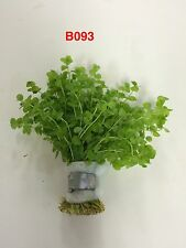 Live Fresh Water Aquatic Bundle Plant Micranthemum umbrosum B093 (Refer *)