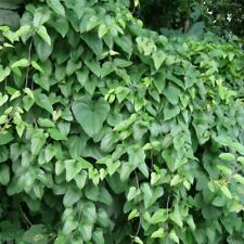 5 Dioscorea Batatas Herbaceous Plant Beans Seeds Liana Ornamental Medicinal Herb