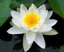 Live White Flower Marliacea Albida Cold Hardy Waterlily Aquatic Pond Plant
