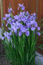 *Beautiful Flower Seeds* Iris sibirica 25 seeds