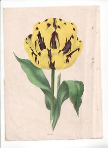 1836 Florists' Magazine, Botanical, Hand coloured plate, Marcellus,