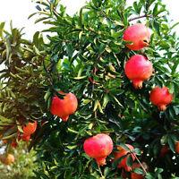 20pcs/lot bonsai pomegranate seeds Very Sweet Delicious fruit,succulents Tree