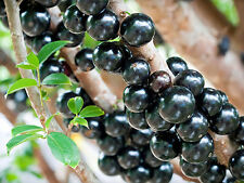 ~Jaboticaba~  Myrciaria cauliflora  fruit tree