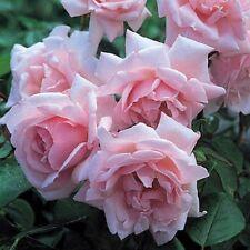 "ROSE BUSH CLIMBER  ""New Dawn""  fragrant AGM ""New Season Rose"""