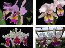 Orchid Cattleya Mrs. G. E. Baldwin (NFS) = C. dowiana x Harold 31l