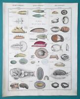 SNAILS Mollusks Shells - 1843 HC Color Print by Oken