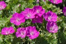 Hardy Geranium 'Vision Violet' X 3 Jumbo Plug Plants Hardy Perennial