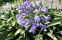 der tolle Schmucklilie ist eine wahre Augenweide in Ihrem Garten !