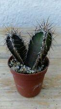 STENOCEREUS MARGINATUS Cactus Vivo 5,5 cm Cacti Kakteen