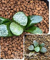"Haworthia Groenewaldii Off Spring Rare Succulent Plant Size Around 1-1.5"""