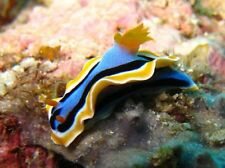 """AQM"" FANCY BLUE NUDIBRANCH, CRAB, SNAIL, Live Coral, INVERTS, CLEANER CREW"