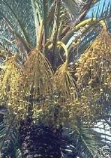 Dattel Palme Pflanzen Duftsträucher Duftstauden für den Balkon Garten frosthart