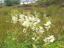 Fairy Garden seeds approx, 50 seeds Wild Meadowsweet, Wild  Flower Seed