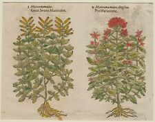 JOHN GERARD BOTANICA MATTHIOLI 1597 MAGGIORANA ORIGANO MARJORAM SPEZIE