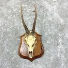#23842 P | European Roe Deer Plaque Mount - Antlers