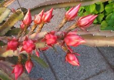 Blattkaktus, Kaktus, bewurzelter Epiphyllum Ableger
