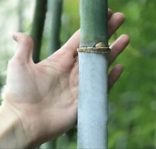 Quality Unique Tropic Blue Bamboo 'Barbellata' (Bambusa chungii) Root Division