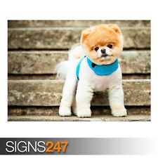BOO THE CUTEST DOG (3424) Animal Poster - Photo Poster Print Art A0 A1 A2 A3 A4