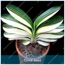 10 Pcs Rare Flower Pots Plant Chinese Clivia Seeds Bonsai For Home Garden