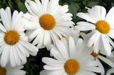 Shasta Daisy 200 seeds HEIRLOOM USA ORGANIC Butterfly Garden